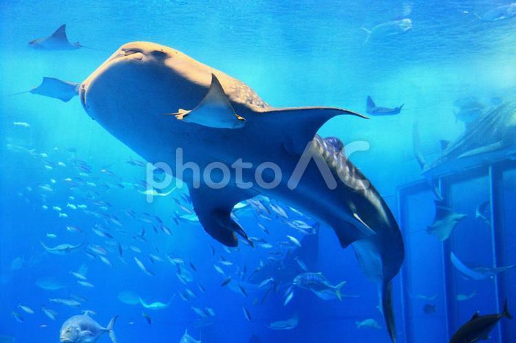 水槽を泳ぐジンベエザメの写真