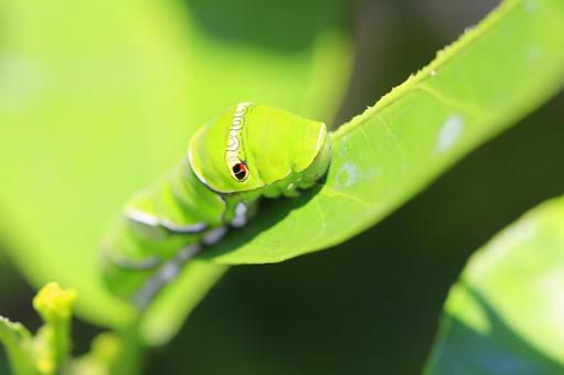 Swallowtail larva parasitizing vegetables 03