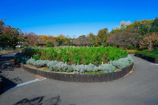 Flowerbed of Roka Koshunen Cosmos blooming in a circular flowerbed