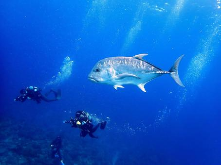 Giant Trevally and Diver Diving in Aguni Island, Okinawa