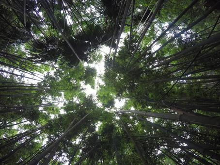 Looking up at the bamboo grove