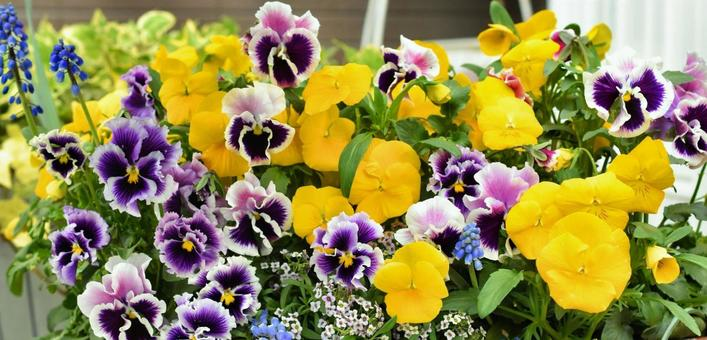 비올라와 팬지, 꽃의 다양한 설치, 봄의 꽃
