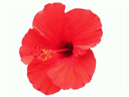 Clipping mask cutting hibiscus 2