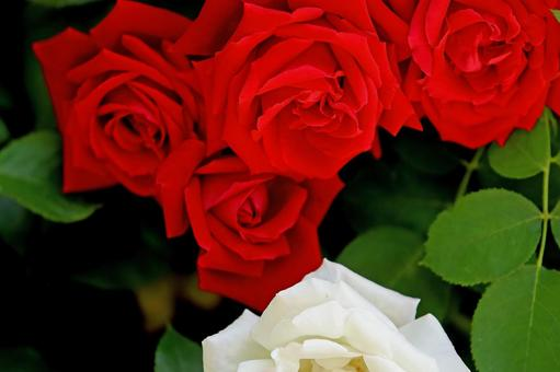 Rose rose red and white flowers