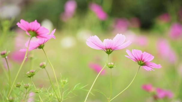Pink cosmos, back shot, autumn cherry blossoms, back shot