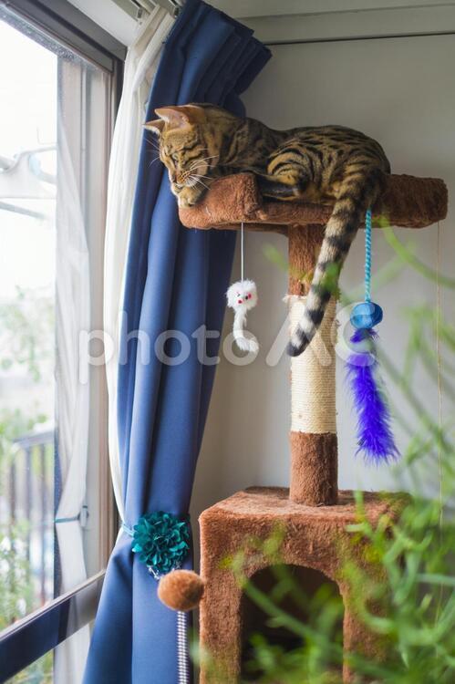 キャットタワーの上のベンガル猫の写真