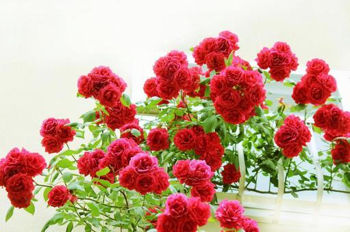 窗台上一朵鮮豔的玫瑰⓵