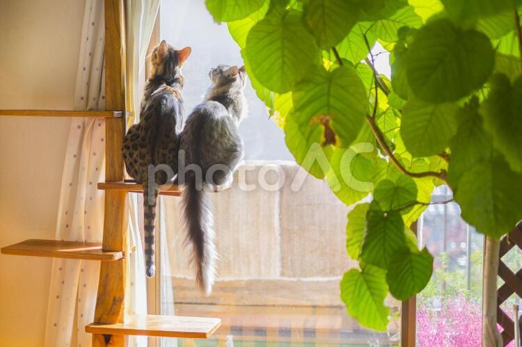 キャットタワーで日向ぼっこ_仲良しベンガル猫の写真