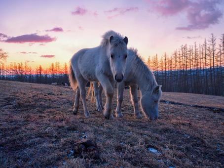Sunrise and Hokkaido horse