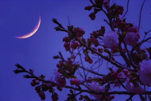 Double cherry blossoms and crescent moon