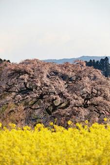 봄 풍경 벚꽃과 유채 꽃