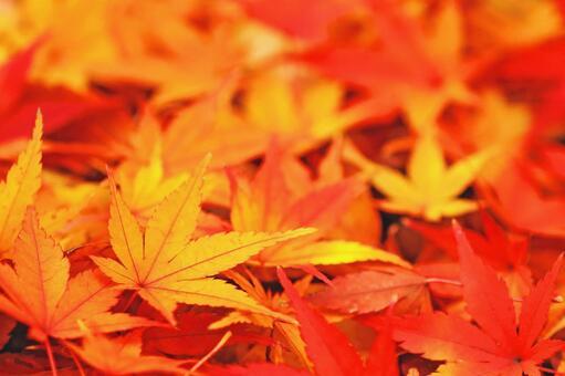 Autumn leaves of maple Autumn image material