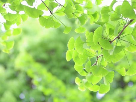 Fresh green leaves ginkgo ginkgo