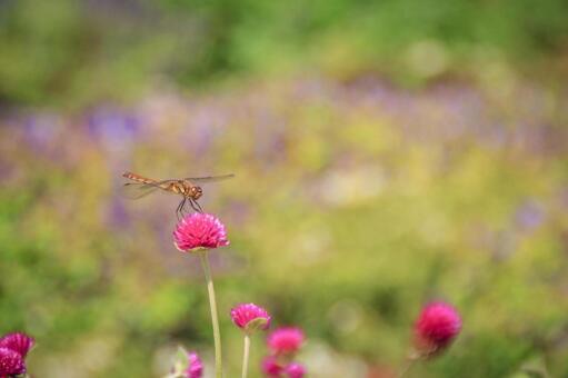 Autumn scenery Chikaboku and dragonfly Sennichikou flower dragonfly