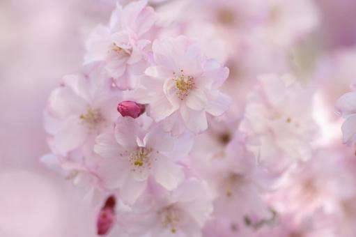 사앵의 꽃 클로즈업