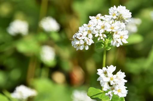 Buckwheat flower 09