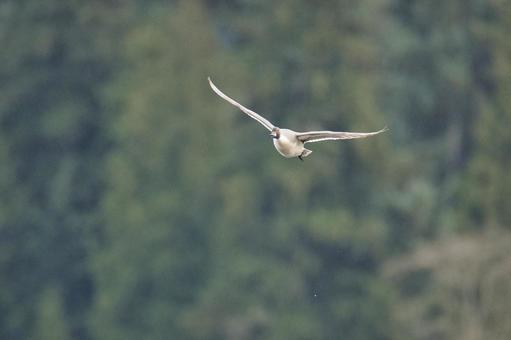 물 까치 오리 수컷이 비행 모습 버나비 브리티시 컬럼비아 캐나다