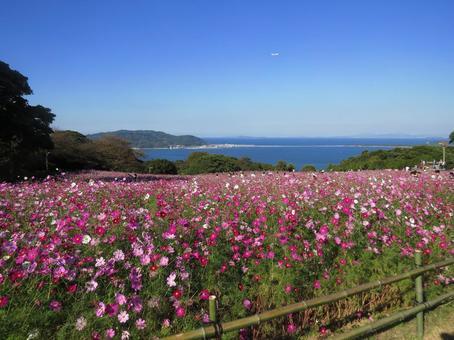 Cherry trees in Nogoshima