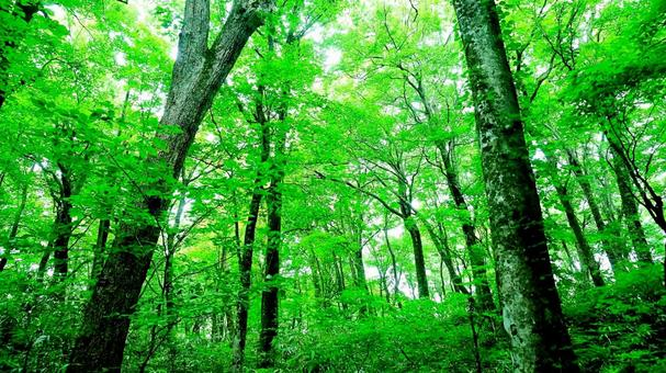 빛 찌르는 너도밤 나무 숲