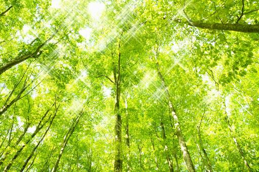 Glittering beech forest