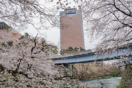 群馬縣廳被櫻花包圍