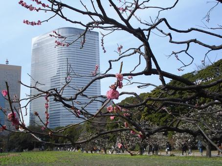 고층 빌딩과 홍매화