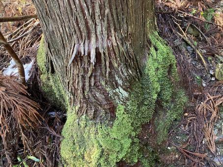 이끼 덮인 삼나무 뿌리