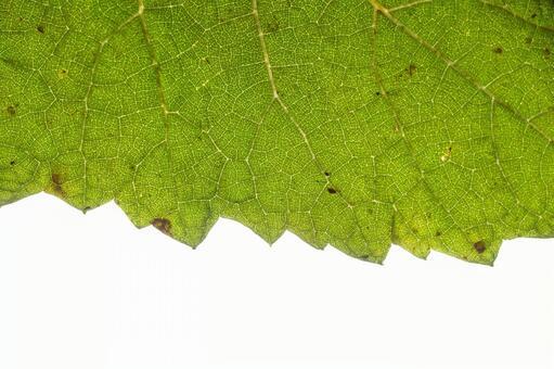 녹색 잎 の 에센 (잎) (8)