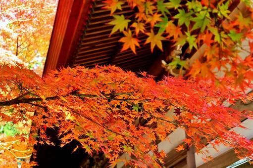 Maple autumn leaves autumn maple autumn background