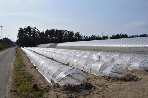Vinyl tunnel cultivation