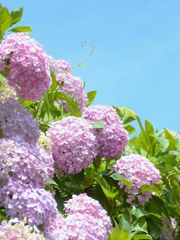 Blue sky and pink hydrangea Large hydrangea