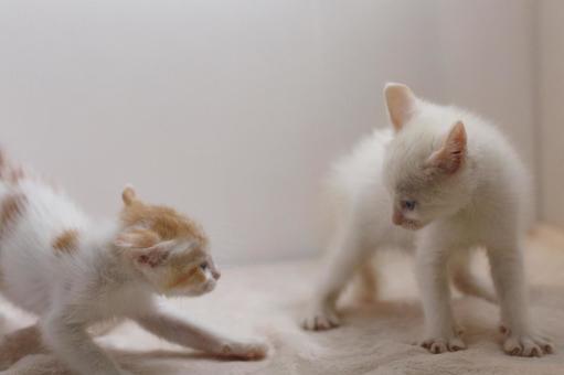 Kittens sumo