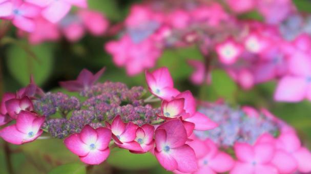 Hydrangea hydrangea, a beautiful red-purple rainy season flower