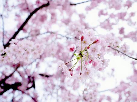 Sakura at the entrance ceremony