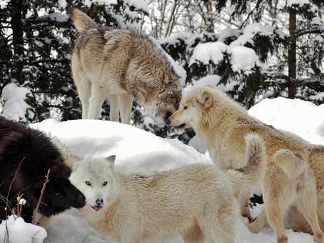 Wolf in winter 5