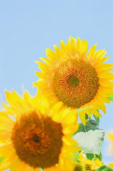 Energetic sunflower ②