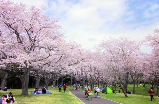 만개 한 벚꽃 아래에서 꽃놀이를하는 사람들