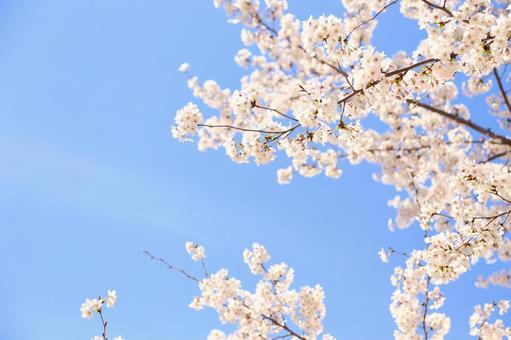 만개 한 벚꽃 16
