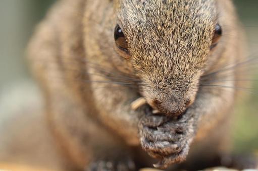 Thai One Squirrel 15
