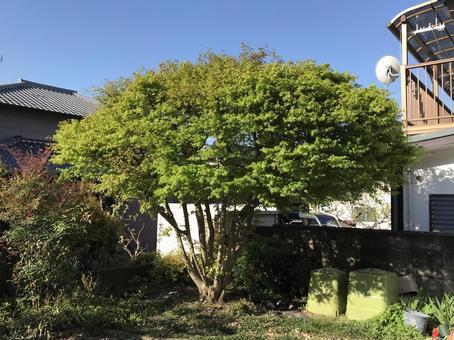 Fresh green maple tree