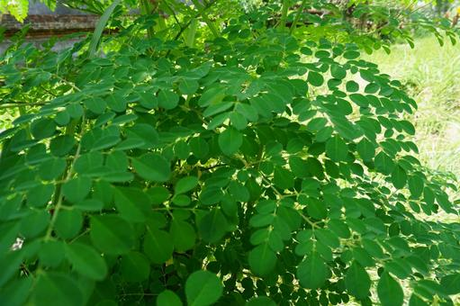 Tree of Life Moringa