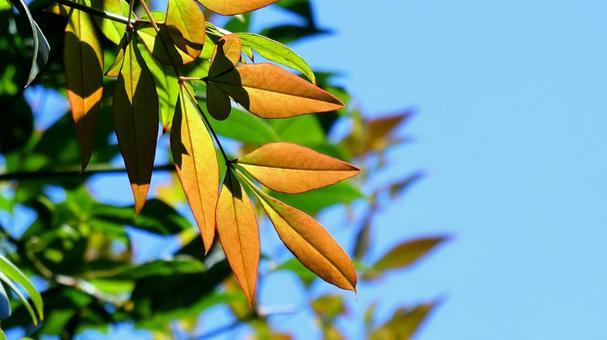 Autumn sunlight and nandina leaves