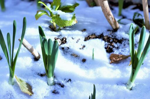 From the first snow to the spring breath Tulip daffodils