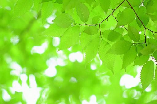 新緑の葉っぱ 若葉 ケヤキ 欅