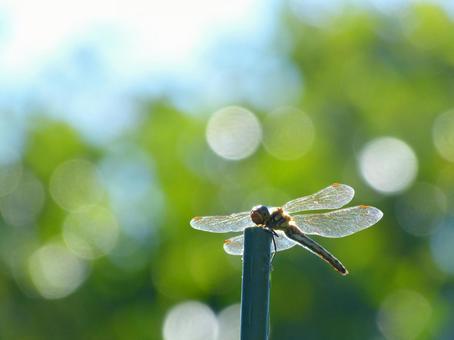 赤蜻属frequens