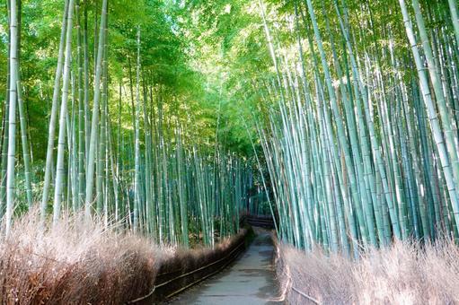 Kyoto Arashiyama Bamboo Forest Small Diameter Morning Dew Wet Scenery