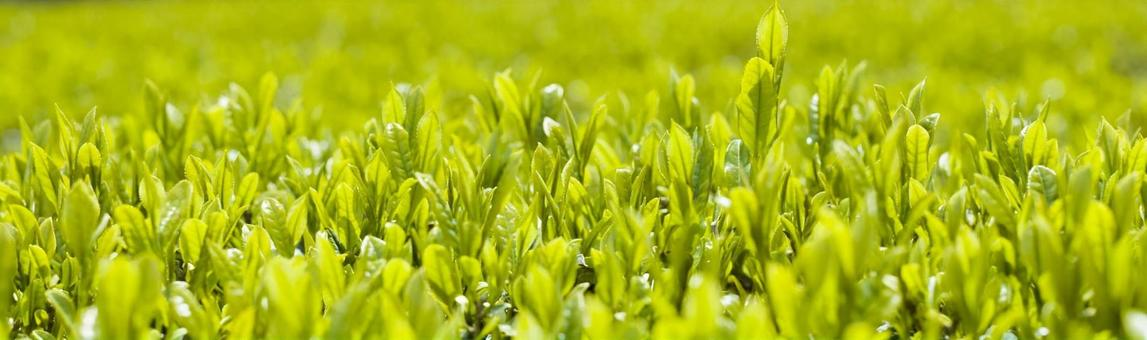 Tea sprout (high resolution for web banner)