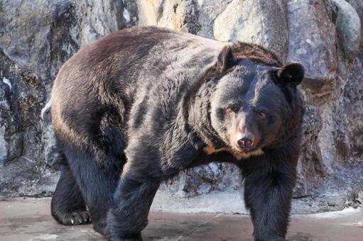 Bear Asiatic black bear