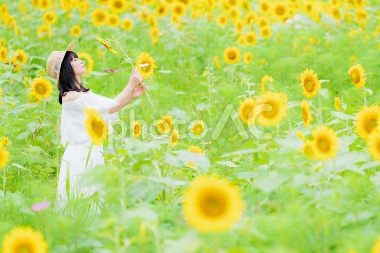 ひまわり畑と白いワンピース姿の女性の写真