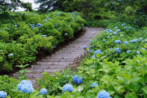 Hydrangea in the hillside park